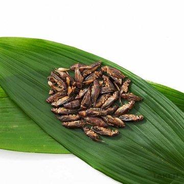 ジャマイカンフィールドコオロギ(Gryllus assimilis)15g