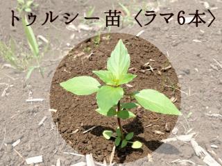 〈予約受付〉トゥルシー苗9cmポット【ラマ6本セット】自然栽培ホーリーバジル苗