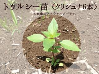 トゥルシー苗9cmポット【クリシュナ6本セット】自然栽培ホーリーバジル苗