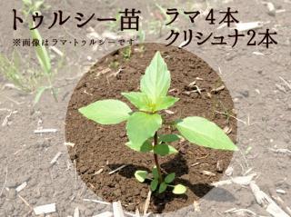 トゥルシー苗9cmポット【ラマ3本+クリシュナ3本セット】自然栽培ホーリーバジル苗