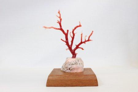 高知県産血赤珊瑚 拝見