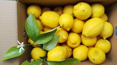トットの果樹園ラストチャンス 「いろいろアソートレモン」<限定40箱>