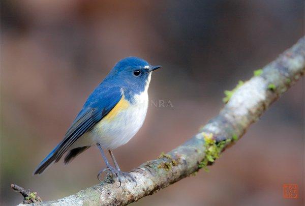 やさしい目の青い鳥(ルリビタキ...