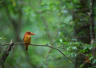 生命の森に火の鳥映える・額装付