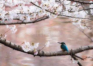桜色に彩られた水面に・額装付