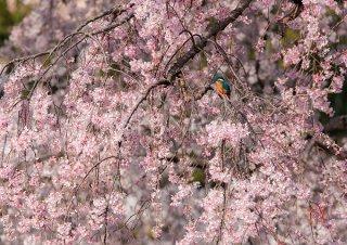 満開の桜 翡翠の鳥・額装付