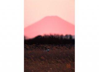 紅富士映える葦原を鷹が征く・額装付