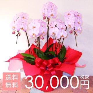 大輪胡蝶蘭5本立ち 40輪〜50輪程度 ピンク