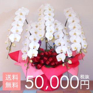 大輪胡蝶蘭5本立ち 70輪〜75輪程度 白