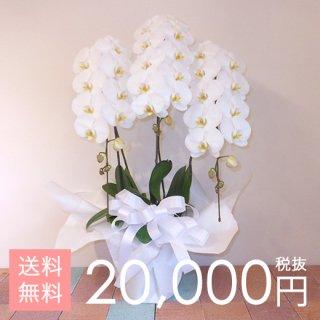 【即日発送】大輪胡蝶蘭3本立ち 33輪〜42輪程度 白