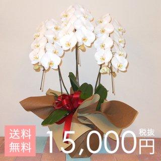 【即日発送】大輪胡蝶蘭3本立ち 27輪以上 白