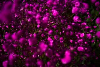 <img class='new_mark_img1' src='//img.shop-pro.jp/img/new/icons1.gif' style='border:none;display:inline;margin:0px;padding:0px;width:auto;' />dry flower pink showy baby's breath (カスミソウ)