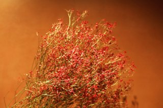 <img class='new_mark_img1' src='//img.shop-pro.jp/img/new/icons1.gif' style='border:none;display:inline;margin:0px;padding:0px;width:auto;' />dry flower red showy baby's breath (カスミソウ)