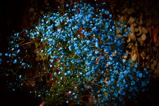 <img class='new_mark_img1' src='//img.shop-pro.jp/img/new/icons1.gif' style='border:none;display:inline;margin:0px;padding:0px;width:auto;' />dry flower blue showy baby's breath (カスミソウ)