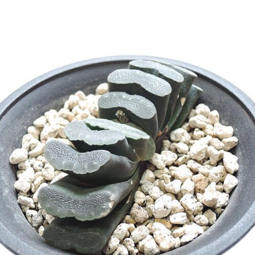 ハオルチア 黒肌玉扇
