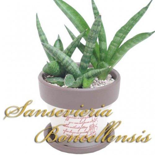 サンスベリア ボンセレンシス