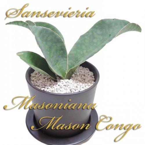 サンスベリア マソニアナ マソン コンゴ