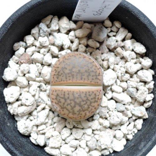 リトープス 宝留玉(C015)