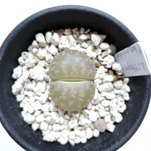 Lithops lesliei ssp. lesliei v. lesliei (Warrenton form) (C005)