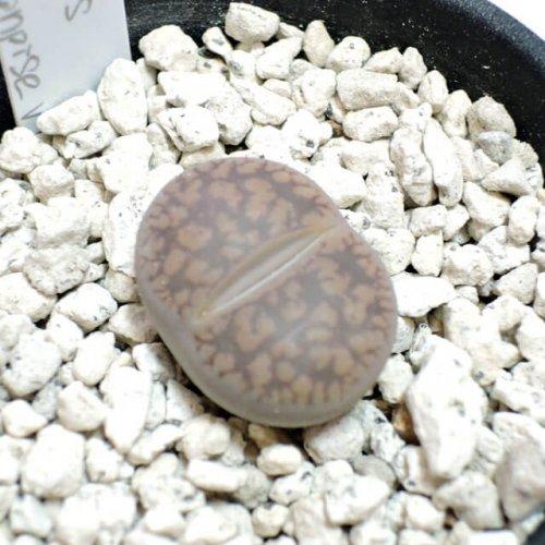 Lithops aucampiae v. aucampiae(C334)