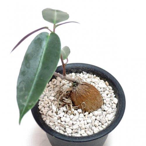 Petopentia natalensis
