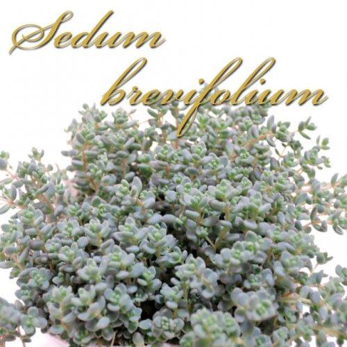 セダム ブレビフォリウム