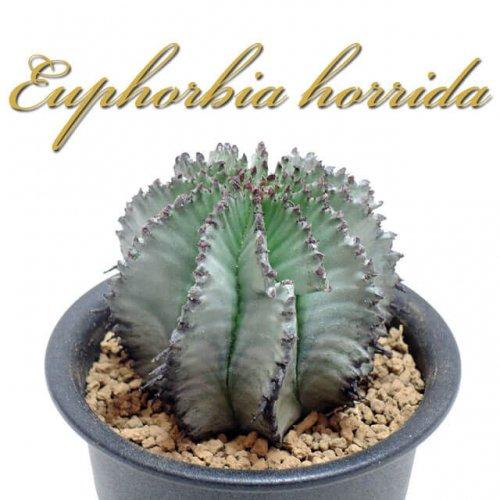 ユーフォルビア ホリダ