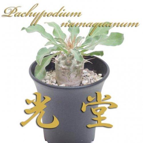 パキポディウム ナマクアナム(光堂)