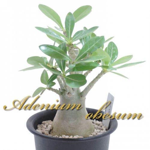 アデニウム オベスム