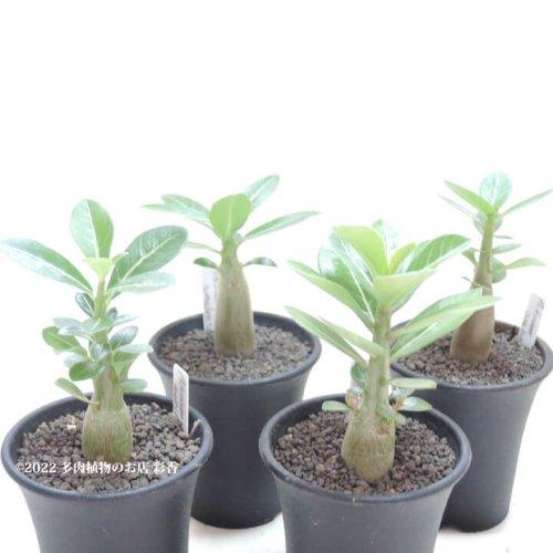 アデニウム 4品種セット