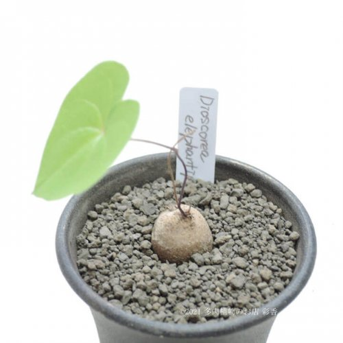 亀甲竜 Dioscorea elephantipes
