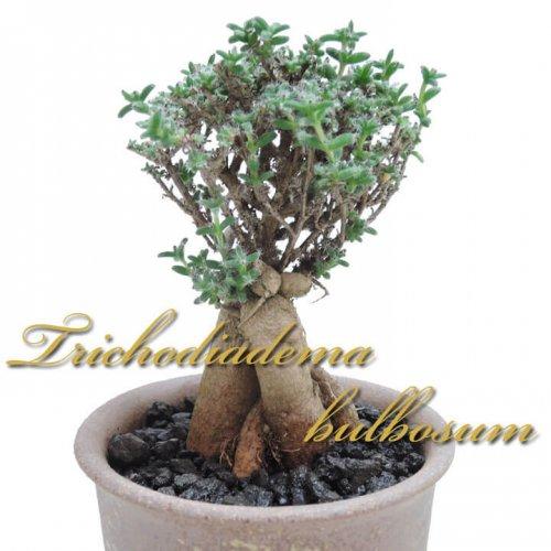 トリコディアデマ ブルボスム