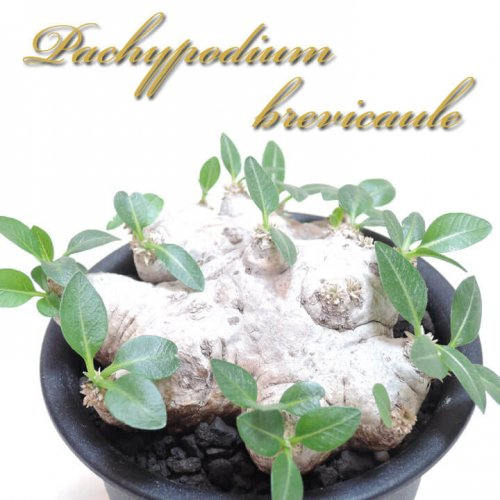 パキポディウム ブレビカウレ(恵比寿笑い)