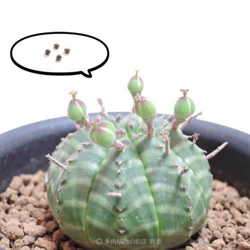 種子 ユーフォルビア バリダ