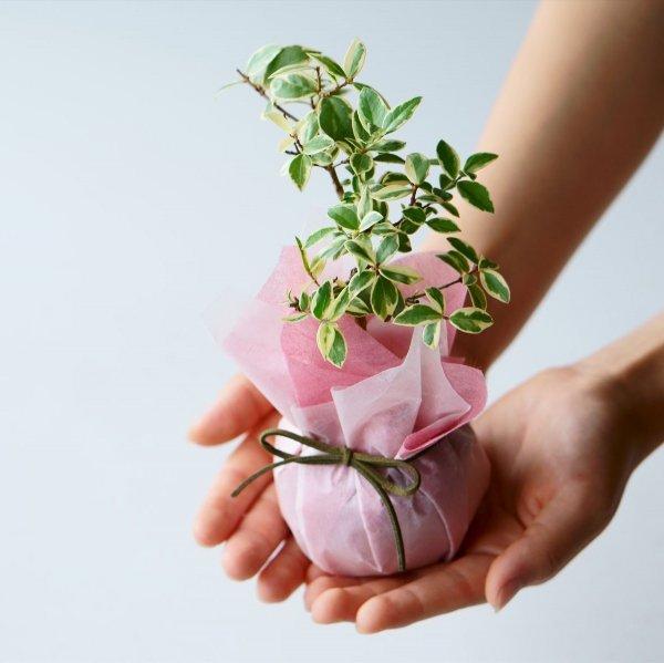 ギフトラッピング(植物用)