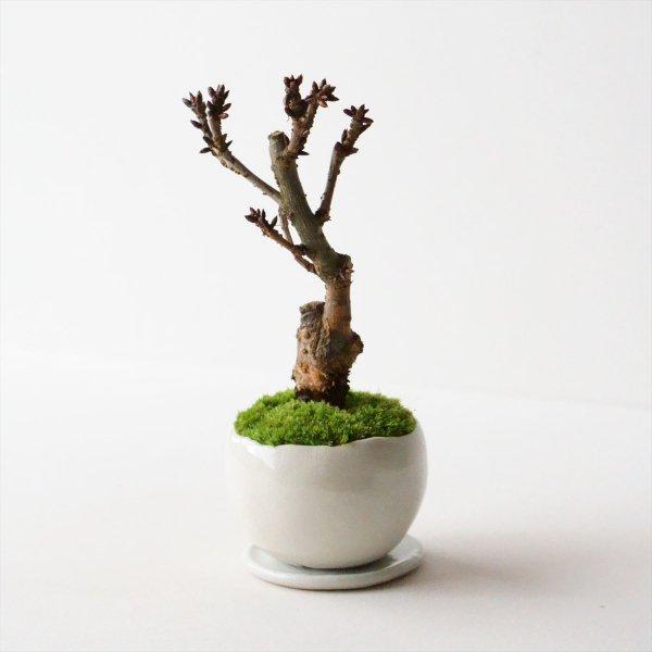 旭山桜|白