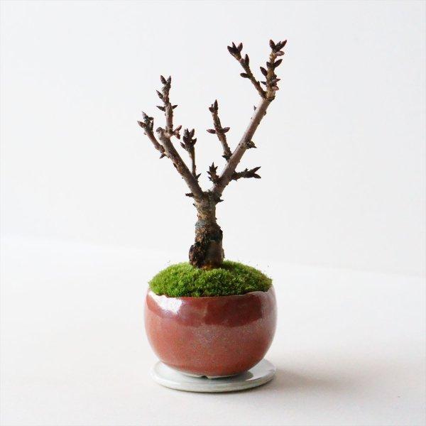 旭山桜|鉄赤