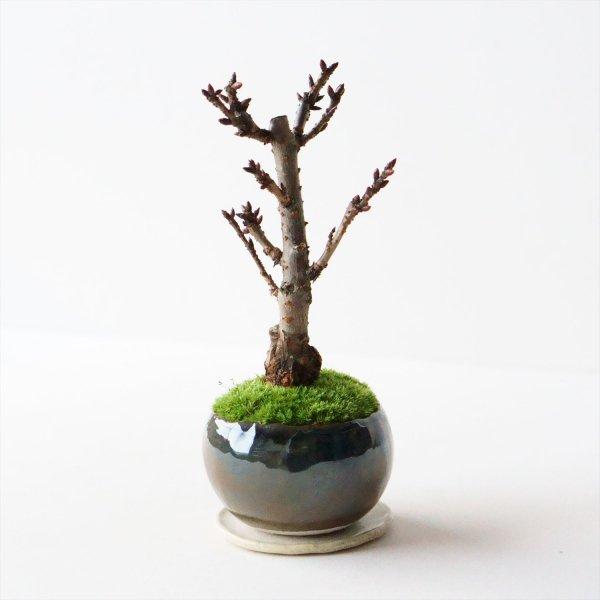 旭山桜|銅黒