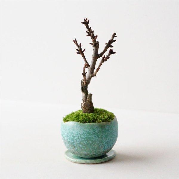 旭山桜|結晶
