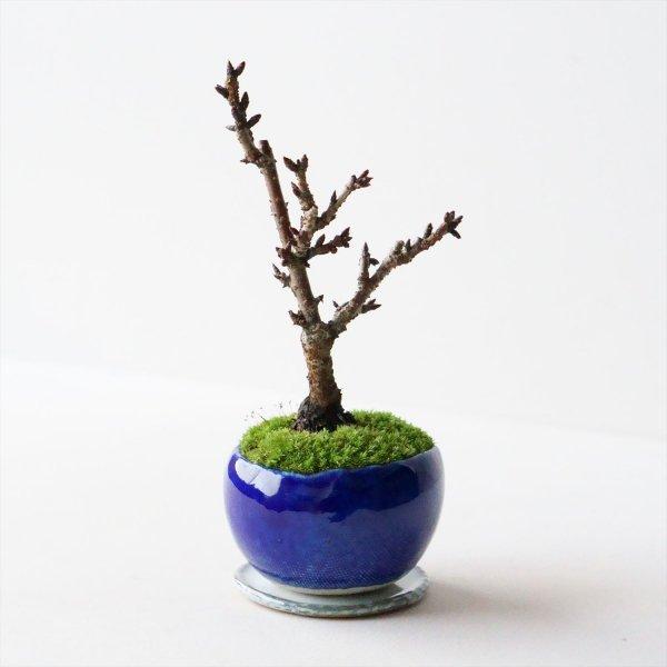 旭山桜|瑠璃