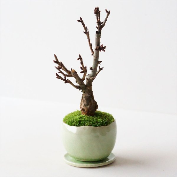 旭山桜|若草