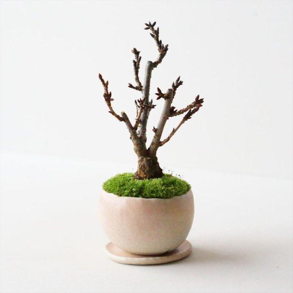 旭山桜|桃