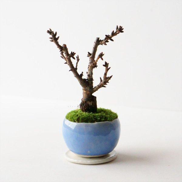 旭山桜|淡藤