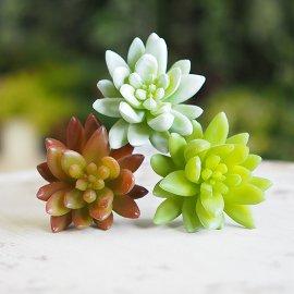 多肉植物:セダムプリマ