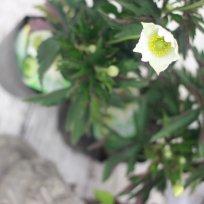 アネモネ 春明菊 グリーンベリー