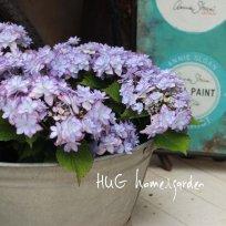 紫陽花ーアジサイー 『ひなまつりブルー』