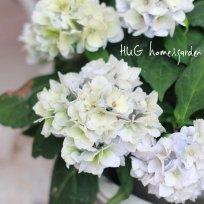 八重咲き山紫陽花 『伊予獅子手まり』 ブルー