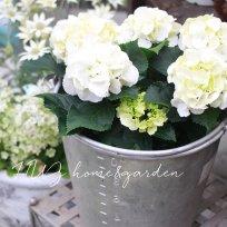 紫陽花『シュガーホワイト』
