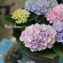 秋色品種 紫陽花『マジカル レボリューション』