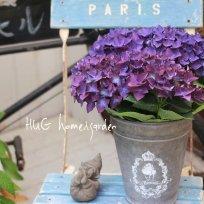 秋色品種 紫陽花『ディープパープル』